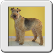 Airedale Terrier getrimmt